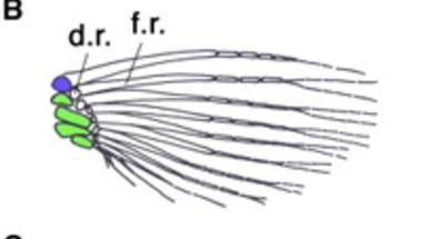 Úszóból kéz: a <i>Hox</i> gének szerepe