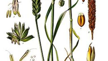 A hagyományos növénytermesztés veszélyei 6. - Jogvédett növényfajták