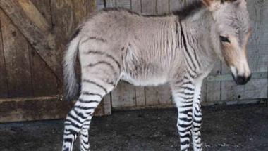 A zebramár magányossága