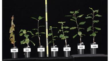 Mire jó a GMO 8. - A tűzelhalás