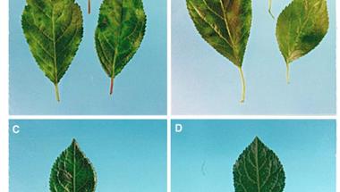 Mire jó a GMO? 7.: A szilvahimlő