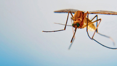 Fordítva sült el a címadás, működött a szúnyogkísérlet