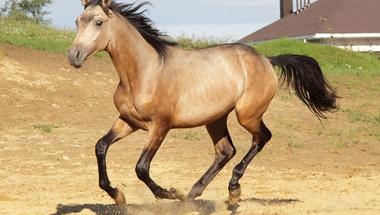 Hogyan barnultak be a lovak