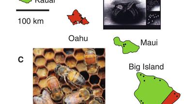 A méhcsalád-összeomlás és a Varroa destructor