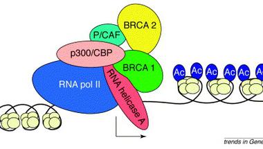 A BRCA1 esete a női mellekkel