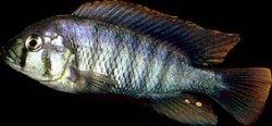 neochromis_omnicaeruleus.jpg