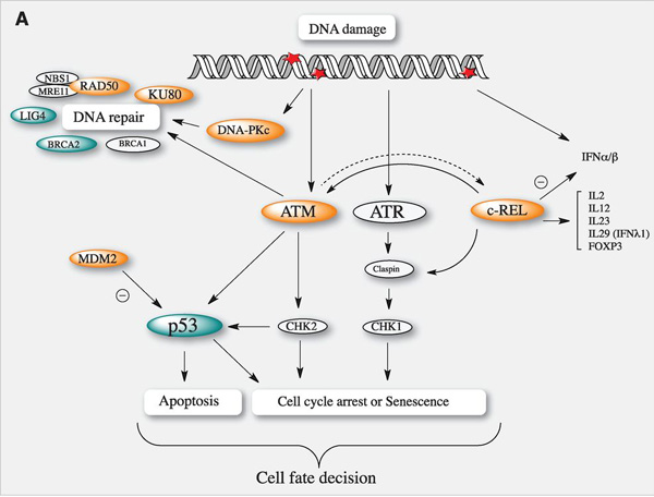 DNArepair_bats.jpg