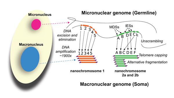 oxytrichia_genomes.png