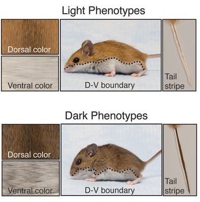 peromyscus_phenotypes.jpg