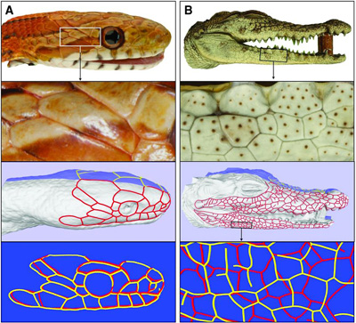 snake_corocodile_head_scales.jpg