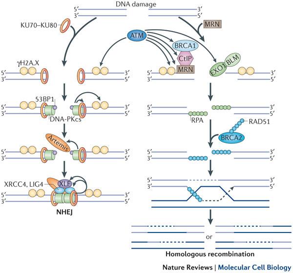BRCA1-funtcion.jpg
