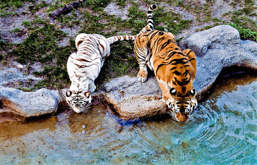 tigers_drinking.jpg