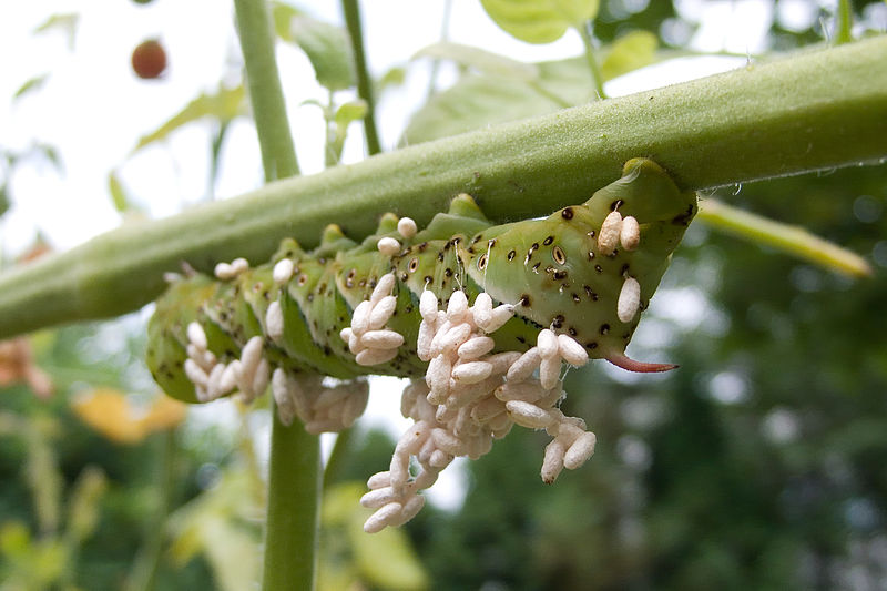 Tomato_Hornworm_Parasitized_by_Braconid_Wasp.jpg