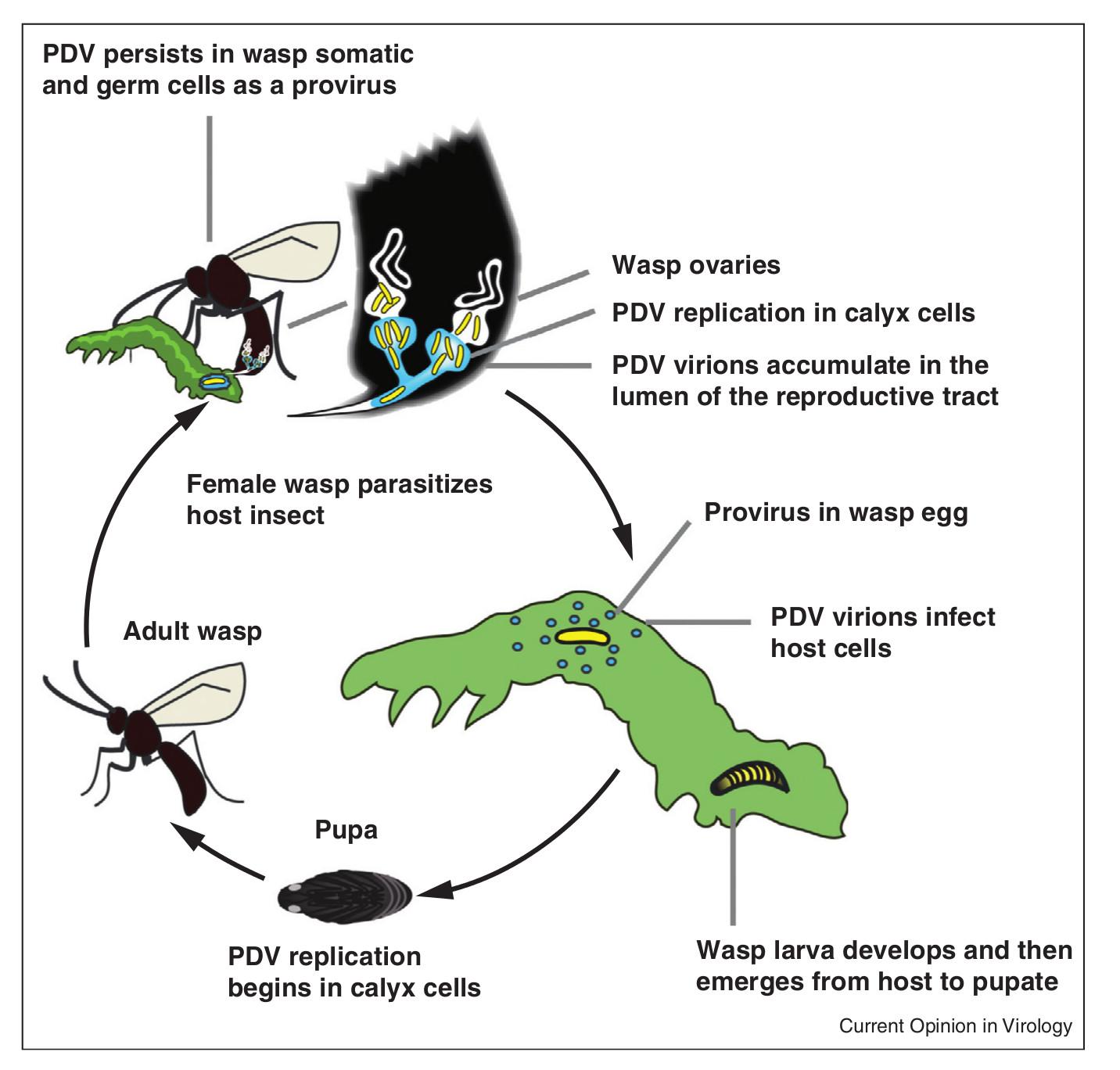 darazsvirus01.jpg