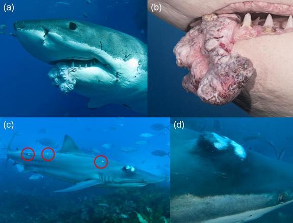 shark-tumors.jpg
