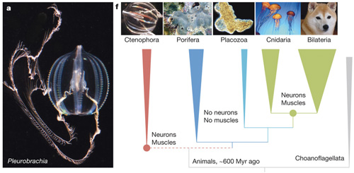 Pleurobrachia-phyl.jpg