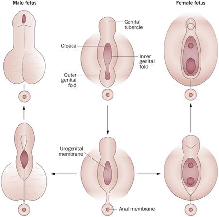 genital_development.jpg