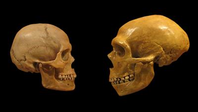 Sapiens_neanderthal_comparison.png