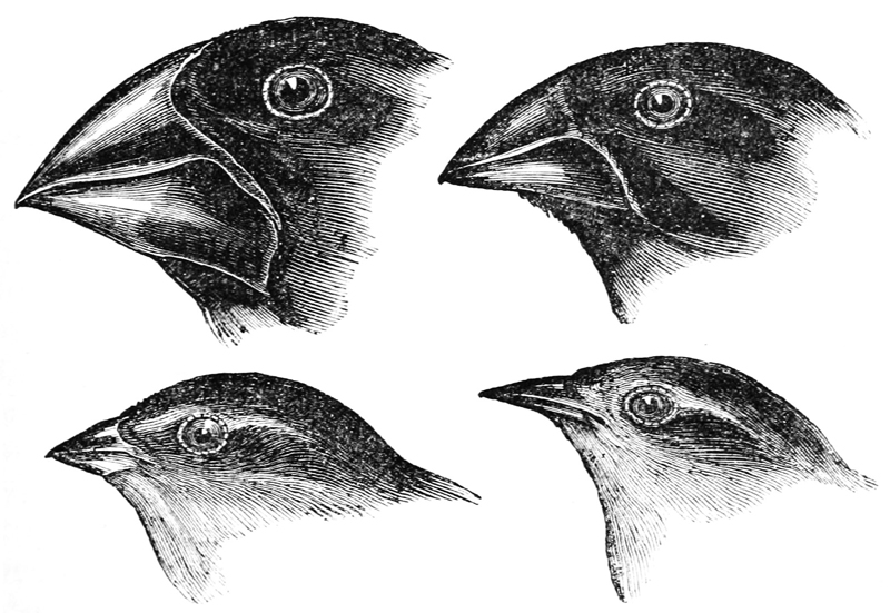 darwin_s_finches_by_gould.jpg
