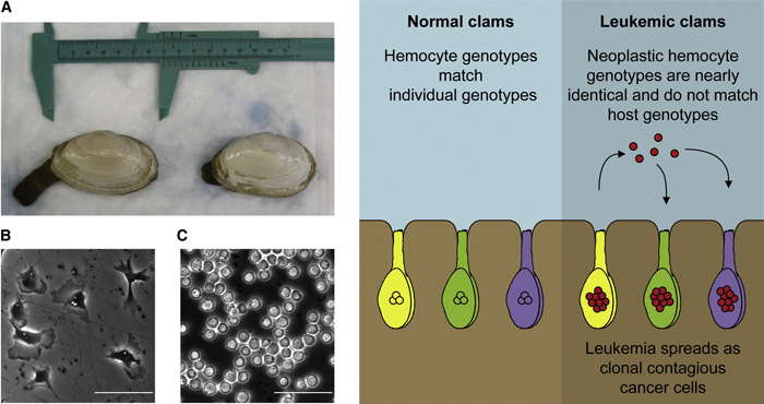 leukemic_clams_1.jpg