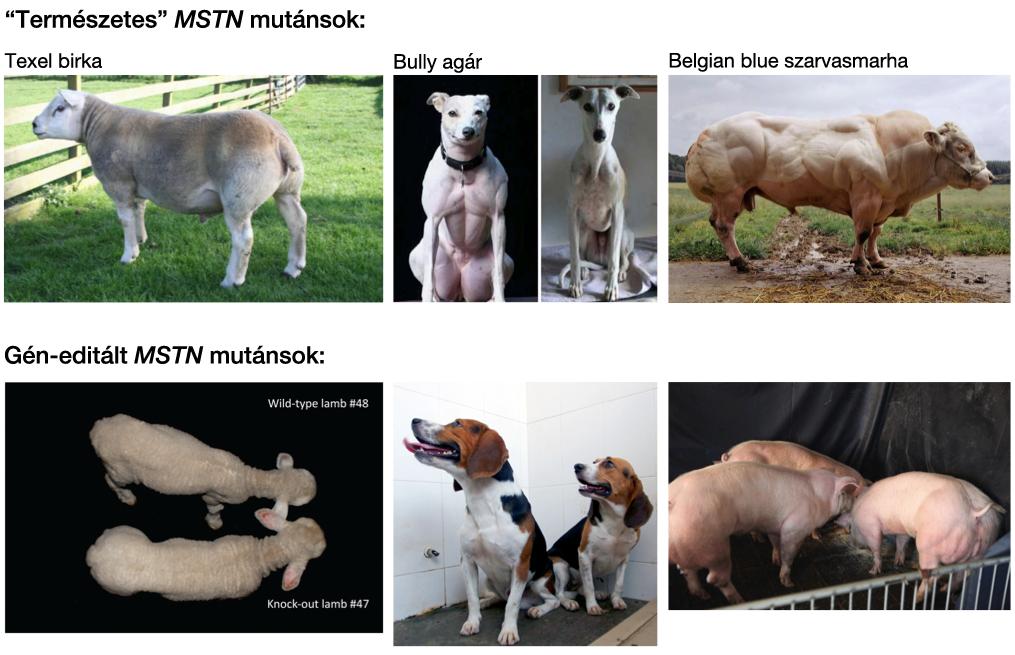 mstn_mutations.png