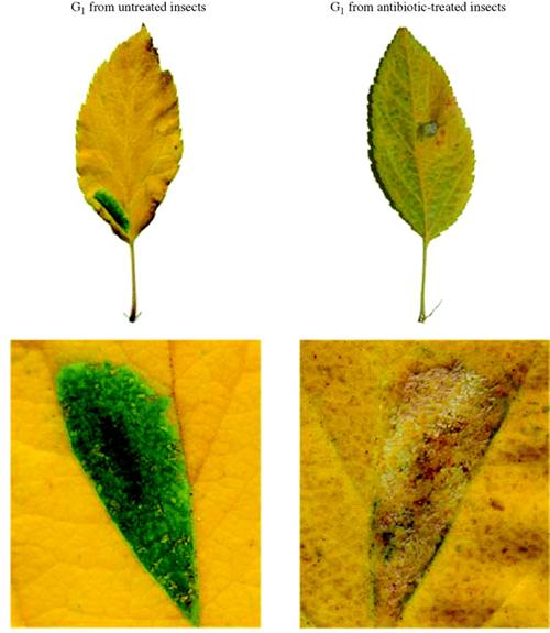 wolbachia-leaves.jpg