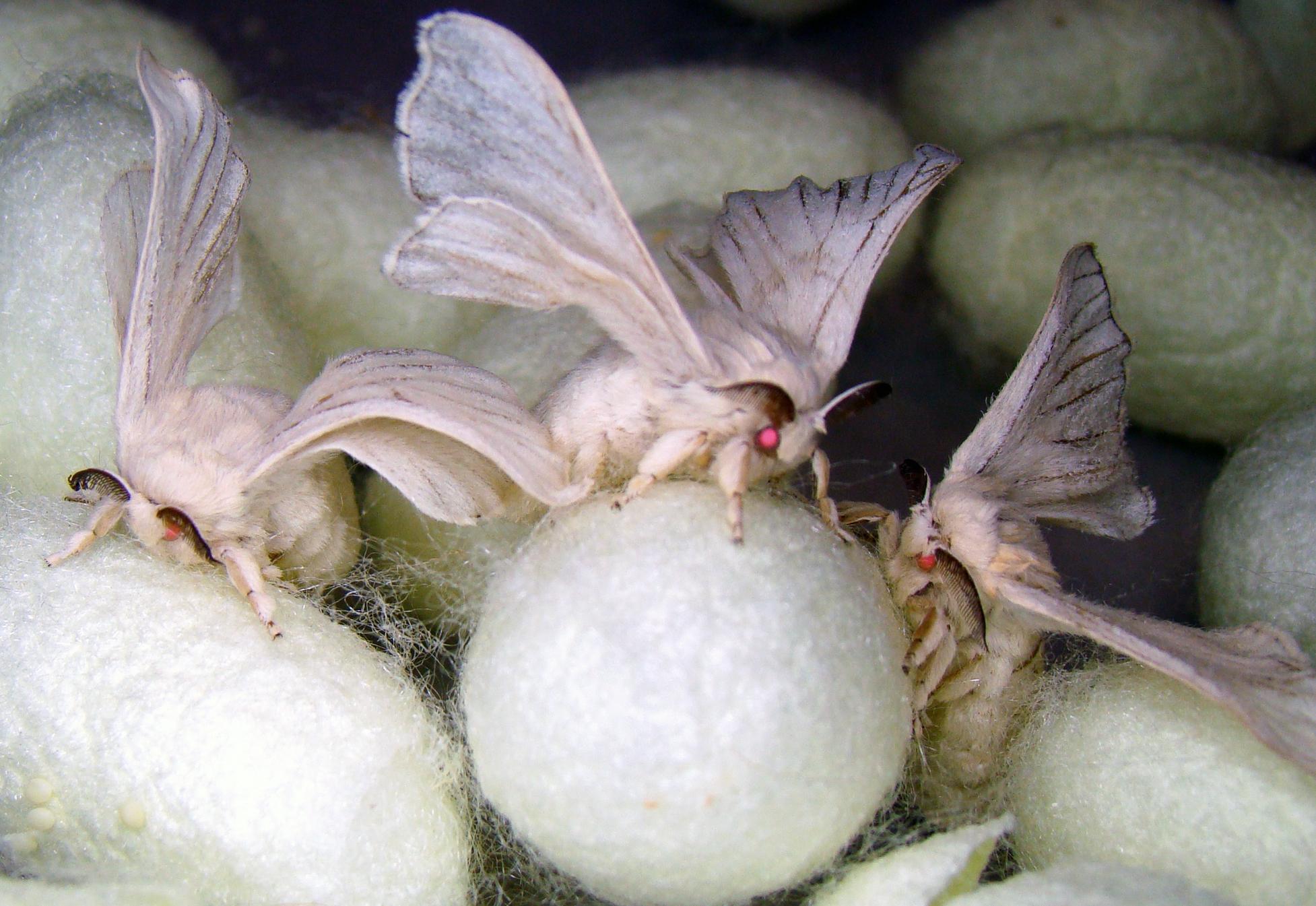 6-monster-silk-moths.jpg