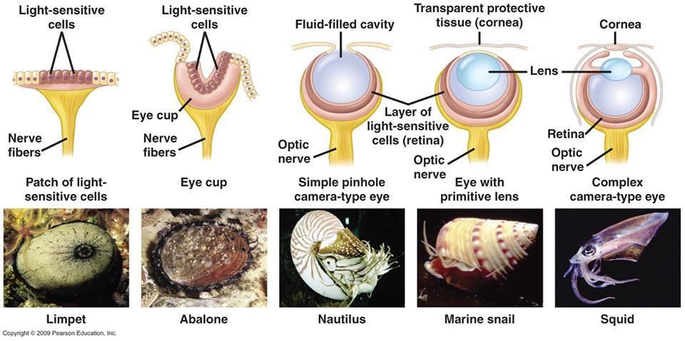 mollusc_eyes.jpg