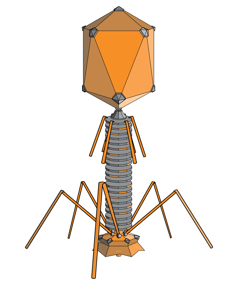 800px-phageexterior_svg.png