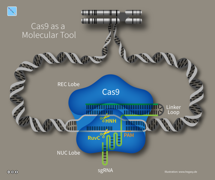 717px-15_hegasy_cas9_dna_tool_wiki_e_ccbysa.png