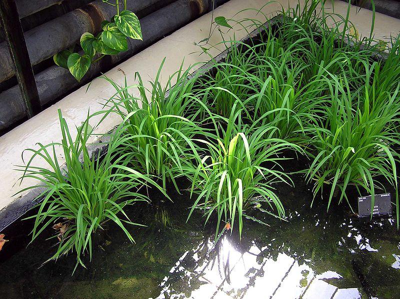 800px-kew_gardens_rice_arp.jpeg