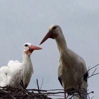 12-edszer tért vissza szerelméhez egy gólya
