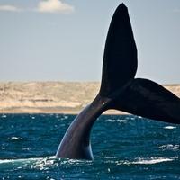 Hatszáz bálna és félmillió pingvin nem tévedhet