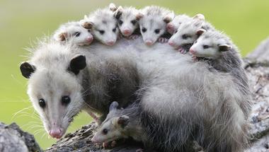 Mit tanítanak nekünk az oposszumok a kötődésről?