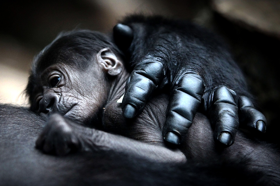 mother-gorilla-hugs-baby.jpg
