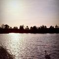 Kis romantikus naplementés kép hattyúval