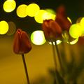 Tulipán, mögötte város