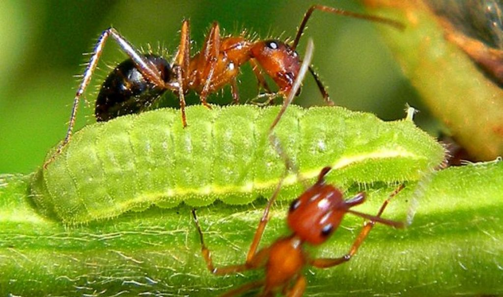 kobe-university-ant-butterfly-mutualism-2zs0k95ukq142aa2r6fcow.jpg