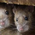 A csepeli patkányinvázióról, a szemétbotrányról egy sort sem, Németh Szilárdról két oldalt közöl a Csepeli Hírmondó