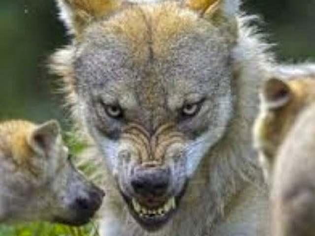 Indiai farkastámadások