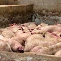 HORROR: Magyar állatkínzást fotóztak le külföldi aktivisták (képek)
