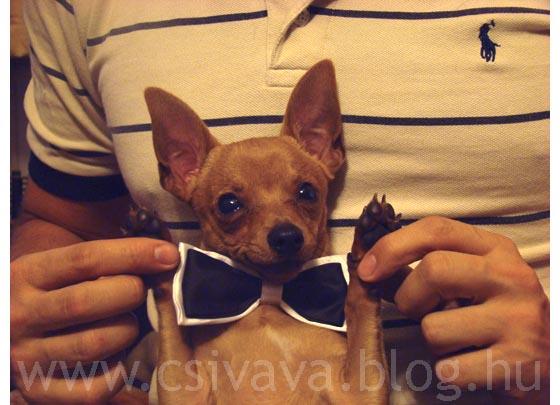 bambi-blog-2012-cuki-kép-csivava-athos.jpg