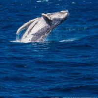 Megint repül a bálna