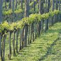 Sorlik a szőlő