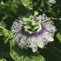 Madeira - virágok/gyümölcsök (x)