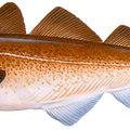 Portugália - bacalhau (x)
