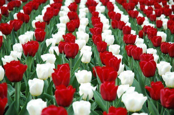 marcius15_tulipanos.jpg