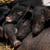 Rosie disznó 17 malacnak adott életet