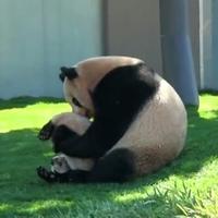 Panda bunyó