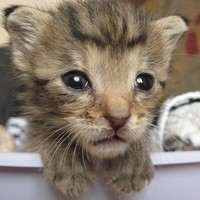 Cumizós macskacsecsemő